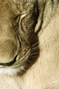 Lioness, (Panthera leo), in extreme close up